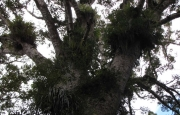 Large Kauri at Trounson Kauri Park